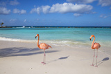 Flamingos on Flamingo Beach  Renaissance Island  Oranjestad  Aruba  Lesser Antilles