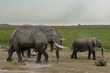African Elephants (Loxodonta Africana)  Amboseli National Park  Kenya  East Africa  Africa
