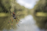 Golden Silk Orb Weaver Spider (Nephila) on its Web  Perinet Reserve