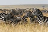 Plains Zebras (Equus Quagga)  Masai Mara  Kenya  East Africa  Africa