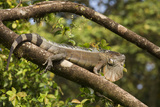 A Green Iguana (Iguana Iguana) (Common Iguana) (American Iguana)  in the Jungle of Costa Rica