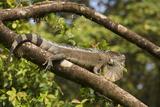 A Green Iguana (Iguana Iguana) (Common Iguana) (American Iguana)  in the Jungle of Costa Rica