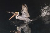 An Adult Brown Pelican (Pelecanus Occidentalis) at Night Near Isla Santa Catalina