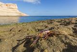 Sally Lightfoot Crab (Grapsus Grapsus)  Moulted Exoskeleton at Punta Colorado  Baja California Sur