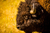 Portrait of an American Buffalo  Buffalo Round Up  Custer State Park  Black Hills  South Dakota