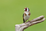 Goldfinch (Carduelis Carduelis) Garden Bird  Perched on a Tree Stump  Cheshire