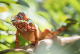 Red Panther Chameleon (Furcifer Pardalis)  Endemic to Madagascar  Africa