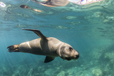 Curious California Sea Lion (Zalophus Californianus) Underwater at Los Islotes  Baja California Sur