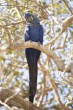 Hyacinth Macaw (Anodorhynchus Hyacinthinus) (Hyacinthine Macaw)  Brazil  South America