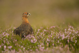 Red Grouse (Lagopus Lagopus)  Yorkshire Dales  England  United Kingdom  Europe