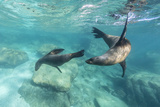 California Sea Lions (Zalophus Californianus)  Playing Underwater at Los Islotes