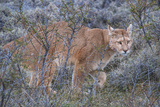 Puma (Puma Concolor) (Wild Puma)  Patagonia  Chile  South America