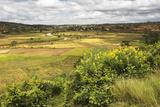Rice Paddy Field Scenery Near Antananarivo  Antananarivo Province  Eastern Madagascar  Africa
