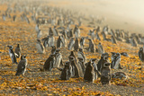 Magellanic Penguins (Spheniscus Magellanicus)  Patagonia  Argentina  South America