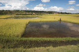 Rice Paddy Fields on Rn7 (Route Nationale 7) Near Ambatolampy in Central Highlands of Madagascar