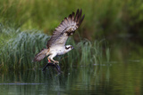 A Satellite Tracked Osprey (Pandion Haliaetus) Flying Above a Small Loch with a Fish in its Talons