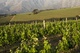 Vineyards Near Stellenbosch in the Western Cape  South Africa  Africa