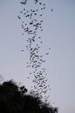 Bats Cave  Battambang  Battambang Province  Cambodia  Indochina  Southeast Asia  Asia