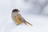 Siberian Jay (Perisoreus Infaustus) in the Snow in the Taiga Forest  Finland  Scandinavia  Europe