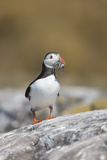 Puffin (Fratercula Arctica) Walking to its Burrow Along a Rock with a Beak Full of Sand Eels