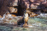 Adult California Sea Lion (Zalophus Californianus)  at Los Islotes  Baja California Sur