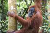 Female Orangutan (Pongo Abelii) in the Jungle Near Bukit Lawang  Gunung Leuser National Park