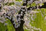 Beautiful Cherry Blossom and Willow in Ueno Park  Tokyo  Japan  Asia