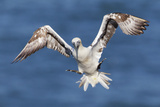 Juvenile Gannet (Morus Bassanus) in Flight Above the Sea at Bempton Cliffs  Yorkshire  England