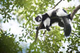 Black and White Ruffed Lemur (Varecia Variegata)  Endemic to Madagascar  Seen on Lemur Island