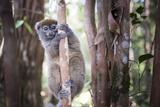 Lac Alaotra Bamboo Lemur (Hapalemur Alaotrensis)  Lemur Island  Andasibe