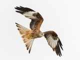 Red Kite (Milvus Milvus) in Flight Low Above a Snow Covered Field Hunting for Food  Wales
