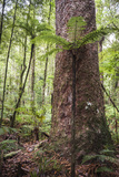 Fern and Kauri Tree  Waipoua Kauri Forest  Northland Region  North Island  New Zealand  Pacific