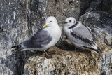 Adult and Juvenile Black-Legged Kittiwakes (Rissa Tridactyla) Nesting Near Stykkishholmur