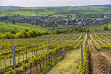 Vineyard Landscape in Transylvania  Near Brasov  Romania  Europe