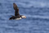 Adult Atlantic Puffin (Fratercula Arctica) in Flight with Fish in its Bill  Snaefellsnes Peninsula