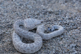 Ash Colored Morph of the Endemic Rattleless Rattlesnake (Crotalus Catalinensis)