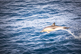 Dolphins Seen Near Whakatane and Tauranga in the Bay of Plenty  North Island  New Zealand  Pacific