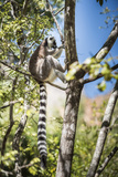 Ring-Tailed Lemur (Lemur Catta)  Isalo National Park  Ihorombe Region  Southwest Madagascar  Africa