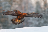 Golden Eagle (Aquila Chrysaetos) Takes Flight in Golden Late Afternoon Winter Light Above the Snow