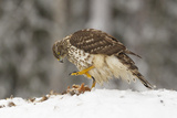 Juvenile Goshawk (Accipiter Gentilis) to Use its Large Talons to Hold Down a Red Squirrel in Snow