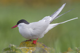 Arctic Tern (Sterna Paradisaea)Perched on a Rock on the Farne Islands  Northumberland  England
