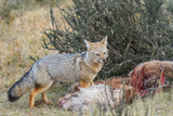Grey Fox (Lycalopex Gymnocercus)  Patagonia  Chile  South America