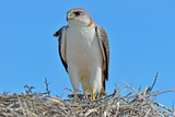 Red Backed Hawk (Buteo Polyosoma) with Her Chick on the Nest  Peninsula Valdes  Patagonia