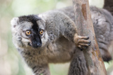 Common Brown Lemur (Eulemur Fulvus)  Lemur Island  Andasibe National Park  Madagascar  Africa