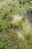 The Natural Mixed Planting in a Front Garden Includes Poppy Grasses and Lychnis Coronaria