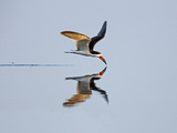 Brazil  Pantanal  Mato Grosso Do Sul a Black Skimmer Flies Low over the Rio Negro River