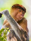 Indonesia  Central Kalimatan  Tanjung Puting National Park a Female Proboscis Monkey