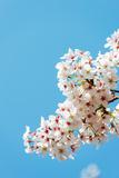 Asia  Republic of Korea  South Korea  Jeju Island  Jeju City  Spring Cherry Blossom