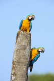 Brazil  Pantanal  Mato Grosso Do Sul a Pair of Beautiful Blue-And-Yellow Macaws