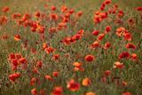 Uk Wiltshire Marlborough Downs Poppies in the Evening Sun